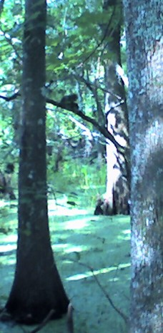 Gray squirrel, Barataria Preserve