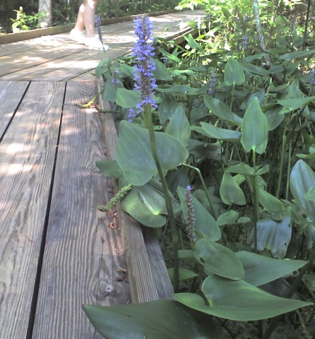 Pickerelweed, (Pontederia cordata)